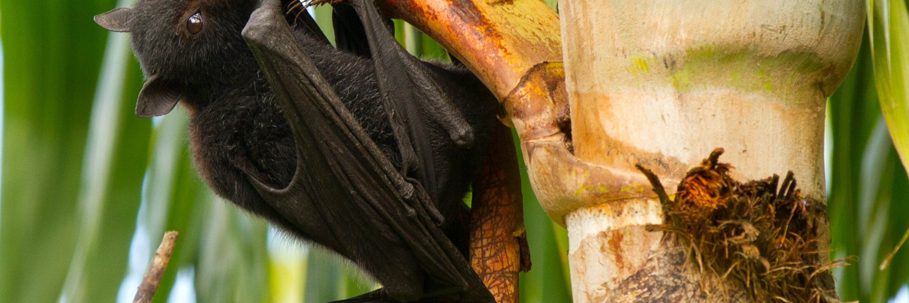 Black_Flying_Fox_eating_palm_tree