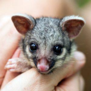 baby-possum1